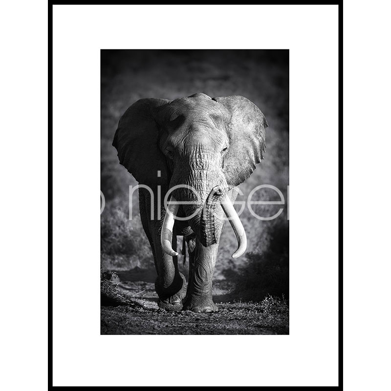 "Gerahmtes Bild ""Elephant black and white"" mit Alurahmen C2"